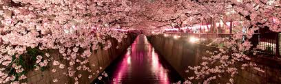 how to see japan u0027s cherry blossoms and when to plan your trip