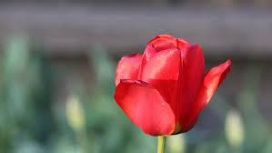 Dark Red Flower - two beautiful dark red flowers stock footage video 27357376