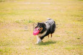 australian shepherd frisbee frisbee dog stock photos royalty free frisbee dog images and pictures