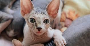 Famosos Gato Sem Pelos: Saiba Tudo Sobre o Gato Sphynx | Mapa dos Bichos @IJ78
