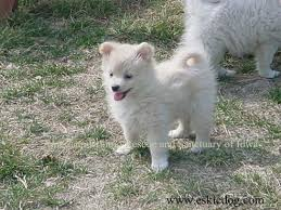american eskimo dog in summer american eskimo dog puppy photos pictures videos of eskie puppies