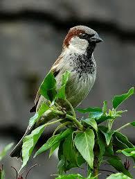 California Backyard Birds by Backyard Bird Identification Sparrows And Finches