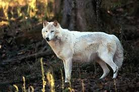 moonlit the image gallery white wolves single wolves