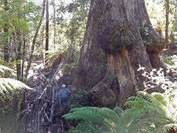 and big tree news s trees