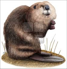 american beaver castor canadensis line art and full color