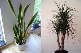 good inside plants best air filtering houseplants according to nasa matter of trust