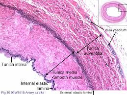 Anatomy Slides Block3 Fig 10 93w6515 Artery Cs V U0026e