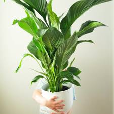 peace lilly peace in a white plant pot modern fresh plantandpot nz