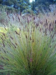 types of ornamental grasses apple landscape jhb cc apple