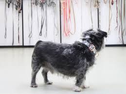 affenpinscher for sale near me etsy com shop for anything from creative people everywhere