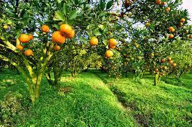 the orange tree stock photo image 43194563