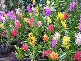 vanda orchids 192 best vanda orchids images on vanda orchids orchid