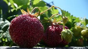free images sky fruit berry sweet sunlight flower ripe