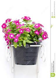 Vinca Flower Information - vinca flowers hanging pot plant royalty free stock photo image