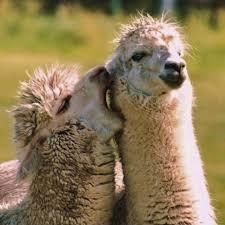 alpaca love blank template imgflip