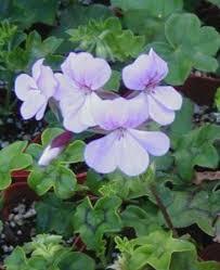 geraniums for sale buy geraniums online colorful geranium plants