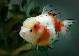 15 different types of goldfish breeds caring pets