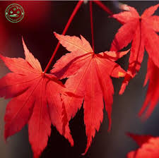 online get cheap acer maple tree aliexpress com alibaba group