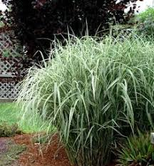 pruning ornamental grasses in the pacific northwest photos