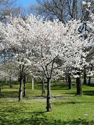 buy flowering ornamental trees free shipping 79 99