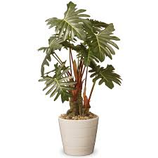 national tree co philodendron floor plant in pot qt office