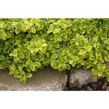euonymus drought tolerant shrubs trees u0026 bushes the home depot