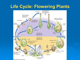 Life Cycle Of A Flowering Plant - the plant kingdom flowering plants ppt video online download