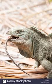 iguana island rock iguana with branch in its mouth iguana island