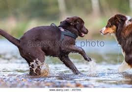 australian shepherd lab puppy australian shepherd dog playing stock photos u0026 australian shepherd