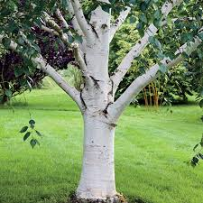 white paper birch tree for sale fast growing trees