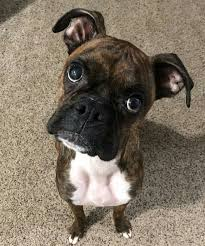 boxer dog funny 2900 best boxer dog images on pinterest boxer love boxers and