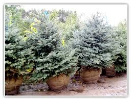 nursery evergreen trees wolcyn tree farms cambridge mn