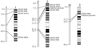 Chromosome Map An Integrated Linkage Chromosome And Genome Map For The Yellow