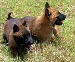 belgian shepherd kennels windrush ranch u0026 kennel