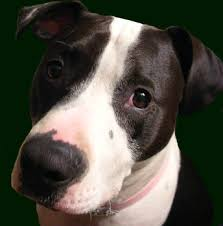 american stanford terrier y american pitbull terrier how to stop a pit bull from licking you pets
