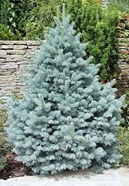 blue spruce trees majestic blue colorado blue spruce a blue