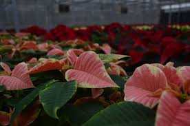 donahue u0027s discontinues poinsettia sales for holiday season news