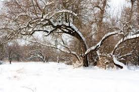 snowy tree in park in winter time stock photo picture and royalty
