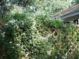 Most Fragrant Plants - just for the smell of it u2013 fragrant plants from my garden u2013 jacki