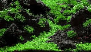 Aga Aquascape Aquascaping World Competition Gallery Mystique By Hector Baca