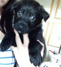 belgian shepherd kennels rotti x belgian shepherd puppies alford lincolnshire pets4homes