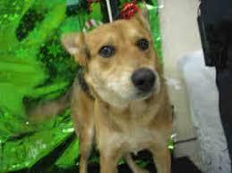 australian shepherd queensland heeler mix pictures view ad cattle dog mix mix dog for adoption california