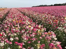 carlsbad flower garden the flower fields theflowerfields twitter