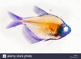 bone fish stock photos u0026 bone fish stock images alamy