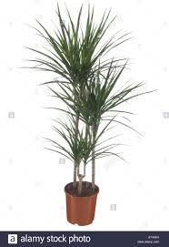 dracaena dragon tree dracaena marginata potted plant stock photo