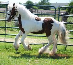 Nice Hourse Flynt Hylls Gypsy Horses