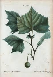 39 best ostrya images on plants deciduous