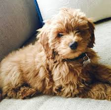 Ginger Doodle Rory Miniature Goldendoodle 3 M O Kenmare A N I M A L S