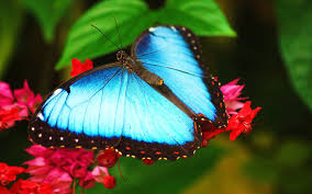 blue morpho butterfly on flower