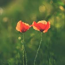 poppy vectors photos psd files free download